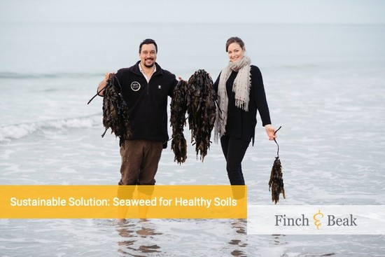 Seaweed to Improve the Soil – a New Zealand Success Story